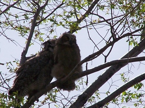 Mom owl (left) grooming soon to leave the nest baby owl