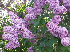 Lilacs of course