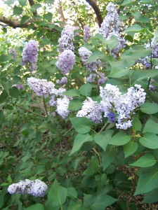 Lilacs in eclipse light.